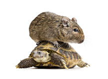 Small rodent on turtle Royalty Free Stock Photos