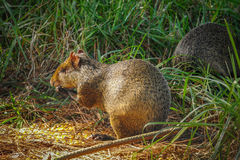 Small rodent. Small wild rodent in South America Royalty Free Stock Photos