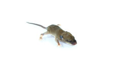 Small rodents (baby  rat) Royalty Free Stock Image