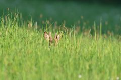 Small roe buck with antler  to hide in camouflage on grass and forest. Young roe deer with growing antler grazing grass on the meadow stock photography