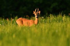 Small roe buck with antler  to hide in camouflage on grass and forest. Young roe deer with growing antler grazing grass on the meadow royalty free stock image