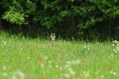 Small roe buck with antler  to hide in camouflage on grass and forest. Young roe deer with growing antler grazing grass on the meadow stock images