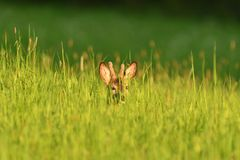 Small roe buck with antler  to hide in camouflage on grass and forest. Young roe deer with growing antler grazing grass on the meadow royalty free stock photography