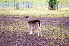 Small roe deer Stock Images