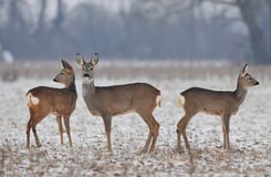 Small roe deer herd in winter Stock Photography