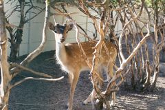 A small roe deer standing between dry trees. A small roe deer standing between trees Stock Image