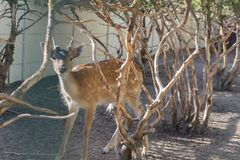 A small roe deer standing between dry trees. A small roe deer standing between trees Royalty Free Stock Photography