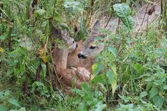 Small roe deer Stock Photography