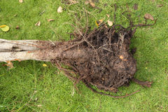 Small roots with soil of tree Stock Photos