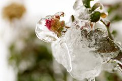 Small rose bud covered with rain frozen for gelicidio. In north of Italy stock images