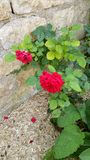 Small red rose bush. Set against stone garden wall with soil covered with protective bark shavings Stock Photo