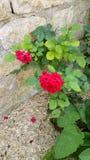 Small red rose bush Stock Photo