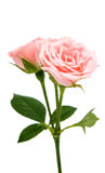 Small rose isolated Stock Images