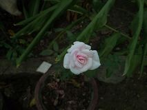 Small Rose. Low light pix Stock Photo