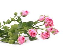 Small roses. Studio photo of some pink roses with empty place for your text over white background royalty free stock photos