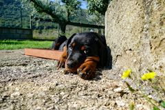 Small rottweiler puppy lying inside the plastic basket stock photo