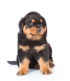 Small rottweiler puppy sitting. Isolated on white background.  Stock Photography