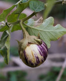 Small Round Eggplant on the vine. Photo of a small purple and white colored eggplant, taken at the World War II Museum in New Orleans in their Victory Garden Stock Photo