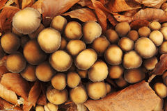 Small round mushrooms and fallen autumn leaves Stock Photography