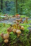 Small, round mushrooms grow on a moss-covered stump in a sunny summer forest. royalty free stock photography