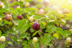 Small round ornamental pepper Royalty Free Stock Photos