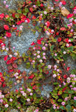 Small round pink flower. This is a picture of small round pink flower which bloomed in a stone wall Stock Photos