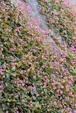 Small round pink flower. This is a picture of small round pink flower which bloomed in a stone wall Stock Photo