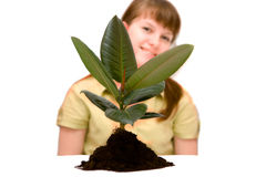 Small rubber plant Stock Images