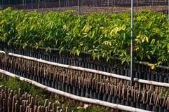 Small rubber tree. A small rubber or rubber tree seedlings Stock Photography