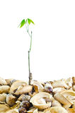 Small rubber tree. Royalty Free Stock Photo