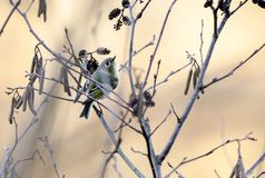 Ruby Crowned Kinglet perched sining in sunset, Athens, Georgia, USA. Small Ruby-crowned Kinglet, Regulus calendula, passerine bird singing on brach in golden royalty free stock photos
