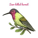 Small Rufous and White-necked Jacobin bird. Exotic tropical animal icons. Golden tailed sapphire. Use for wedding, party. Engraved hand drawn in old sketch Stock Photos