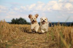 Free Small Running Dogs In A Stubble Field Royalty Free Stock Photo - 114301525