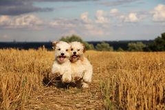 Small running dogs in a stubble field. Two small dogs are running in a stubble field in the sunshine stock images
