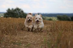 Small running dogs in a stubble field. Two small dogs are running in a stubble field in the sunshine royalty free stock photography