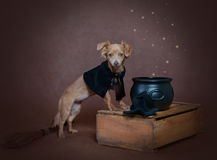 Small russet dog in a costume of witch Stock Photography