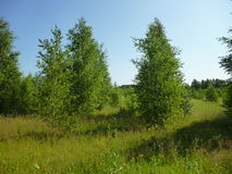 Small Russian birch. Trees near the forest stand on the field in the summer Royalty Free Stock Photos