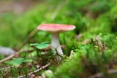 Small Russula mushroom Royalty Free Stock Photo