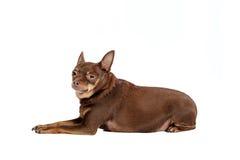 Small sad dog lying isolated Stock Images