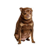 Small sad dog sitting isolated Stock Photo
