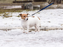 Small sad fluffy dog walking on leash at park. Jack Russell Terrier standing on snow Stock Photography