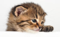 Small  sad kitten looking surprised Royalty Free Stock Photography