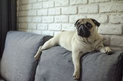 Free Small Sad Puppy Pug Sleeping On Sofa Stock Images - 106173084