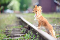 Small sad russet dog waiting on the railroad stock photos