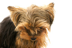 Small sad yorkshire dwarf terrier. Isolated on the white background Stock Photos