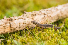 A small salamander in the green grass Stock Photo