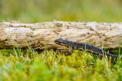 A small salamander in the green grass Royalty Free Stock Photography