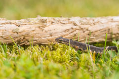 A small salamander in the green grass Stock Image