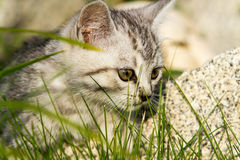 Small sand-colored kitten on green grass Royalty Free Stock Images