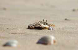 A small sand crab sits on a small stone on the sand of a sea beach. Close-up royalty free stock photography